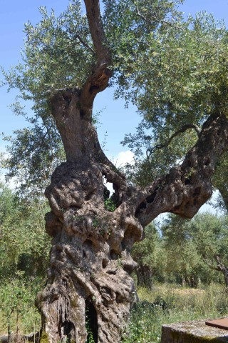 Corfu sightseeing Philoxenia hotel many olive trees are found on the Greek Island