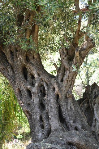 old tree in corfu